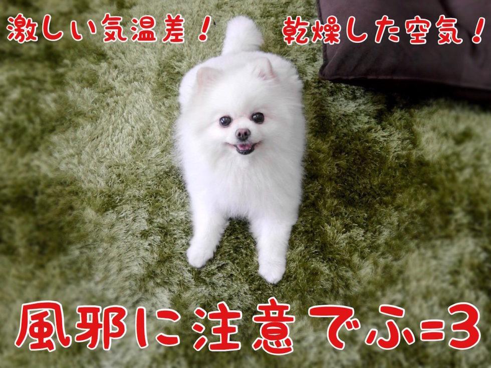 風邪に注意でふ 犬 ポメラニアン