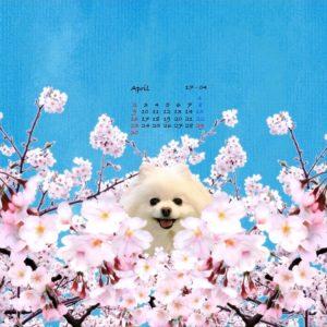 iPad壁紙2017年4月昼桜