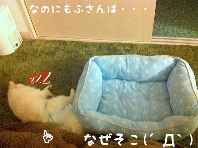 なのにヒート中の白ポメラニアンのもふさんはベッドの横で寝ている。 なぜそこ。