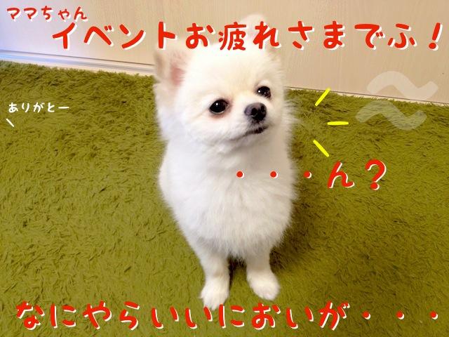 白ポメラニアンもふ: ママちゃんイベントお疲れ様でふ!  ママちゃん: ありがとー  もふ: ・・・ん? 何やらいい匂いが・・・
