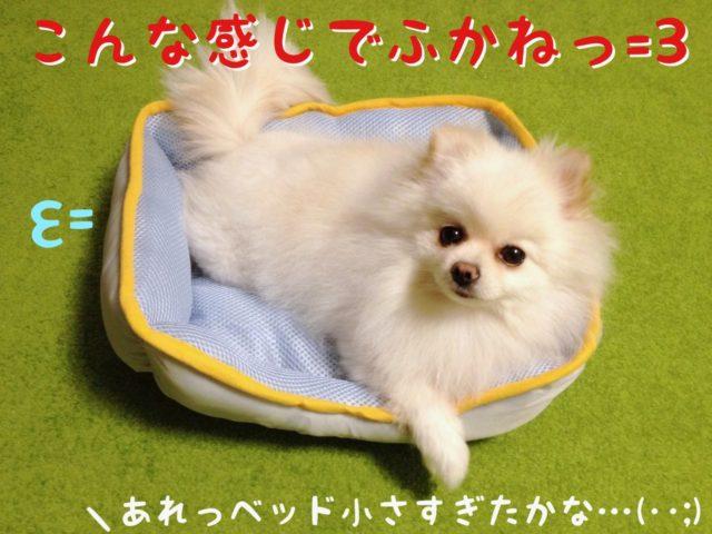 ベッドで寝てみるもふ: こんな感じでふかね!  ママちゃん: あれっ ベッド小さすぎたかなあ・・・?