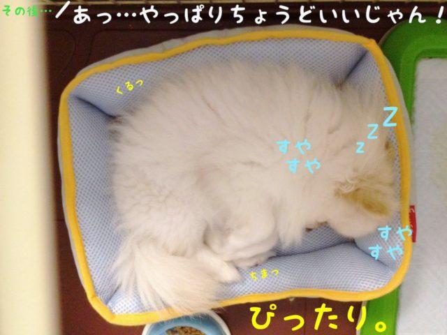 夏用ベッドをペットゲージの中に入れて数十分後。 ベッドにピッタリ収まって寝ているもふ。  ママちゃん: あっ! やっぱりちょうどいいじゃん!