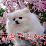 ポメラニアン犬お花見ふーん