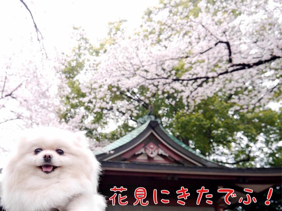 花見に来た! ポメと桜