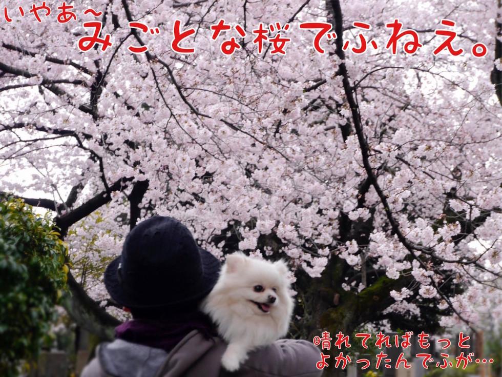 桜と犬 ポメラニアン