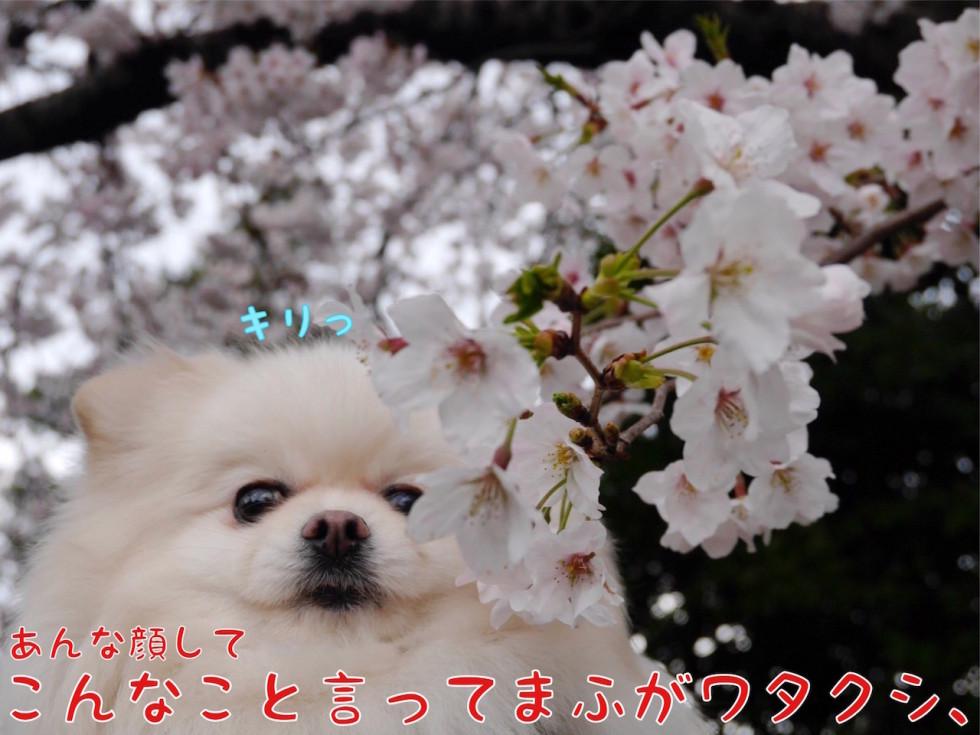 桜と犬 キリっ