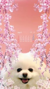 スマホ壁紙2017年4月夕桜