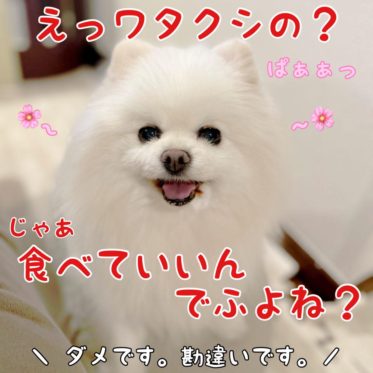 白ポメラニアンもふ: えっワタクシの?じゃあ食べていいんでふよね? ママちゃん: ダメです。勘違いです。