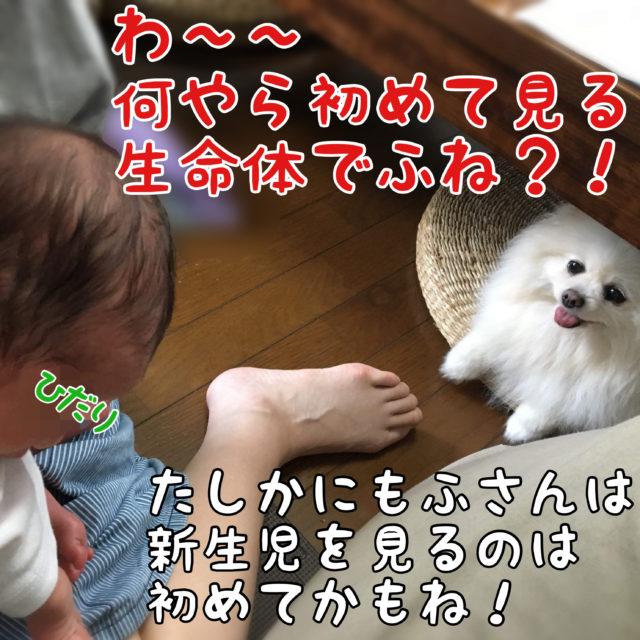 抱かれているひだり君を見る白ポメラニアンもふ: わ〜〜何やら初めて見る生命体でふね?!  ママちゃん: たしかにモフさんは新生児を見るのは初めてかもね!