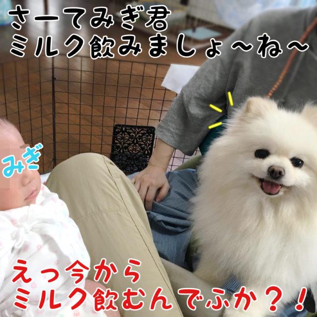 みぎ君を膝に乗せているパパちゃん: さーてみぎ君ミルク飲みましょ〜ね〜  白ポメラニアンもふ: えっ今からミルク飲むんでふか?!