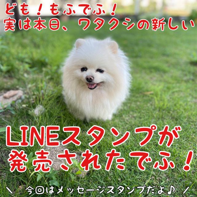 白ポメラニアンもふ: 実は本日、ワタクシの新しいLINEスタンプが発売されたでふ!  ママちゃん: 今度はメッセージスタンプだよ